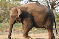 beautiful asian female indian elephant Elephas maximus indicus in jungle forest