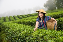 Beautiful asian girl wear traditional dress with basket harvests tea leaves at tea plantation in Chiang Rai Province, Thailand.