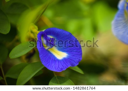 beautiful Asian pigeonwings bluebellvine blue pea butterfly pea  cordofan pea Clitoria ternatea