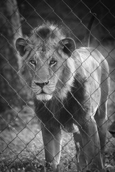 beautiful Asiatic lion Panthera leo leo in jungle forest standing looking behind fence