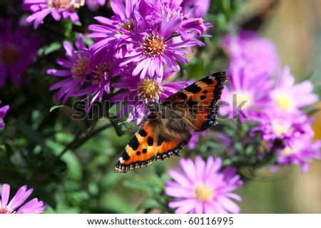 Beautiful aster flower on a sunny day with butterfly