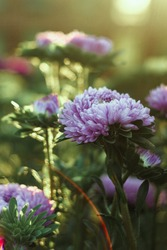 Beautiful Aster flowers purple in color on the leaves of which fall warm sun rays