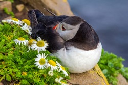 Beautiful  atlantic puffin is cleaning feathers on the cliff edge. Picturesque portrait of puffin near daisies. Iceland