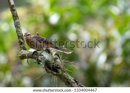 Beautiful Atlantic Rainforest bird Chalk-browed Mockingbird (Mimus saturninus), on a branch tree in Petropolis, Serra dos Orgaos, Rio de Janeiro, Brazil.
