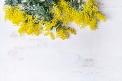 Beautiful Australian native yellow wattle/acacia flowers, frame the composition space from above, on a white rustic background. Know as Acacia baileyana or Cootamundra wattle.