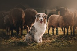 Beautiful Australian shepherd is posing and herding