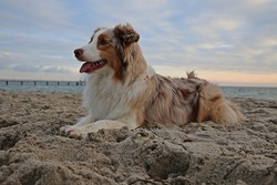 beautiful australian shephers is lying in the sand at the beach