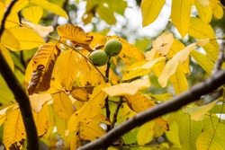 Beautiful autumn background - large yellow leaves of walnut tree with fruits, large walnuts on a branch of a tree. Welcome autumn. It's time to harvest