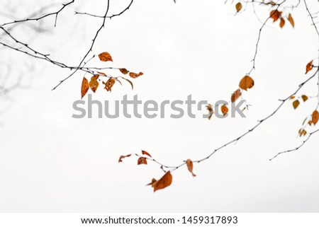 Beautiful autumn birch branches reach for each other. Flown orange brown leaves. White cloudy sky background and bare branche  #1459317893