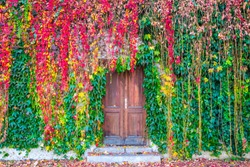 Beautiful autumn colored ivy plants growing on a wall surrounding the old wooden door