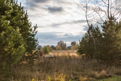 Beautiful autumn countryside landscape with pine trees and dry grass