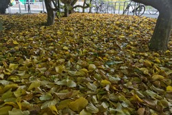Beautiful autumn covering of fallen yellow leaves beside bike parking on campus of university campus, Dublin, Ireland. Lots of fallen leaves. Fall vibes. Autumn background
