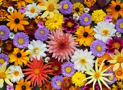 Beautiful autumn floral background for greeting or postcards. Texture of various garden flowers, top view.