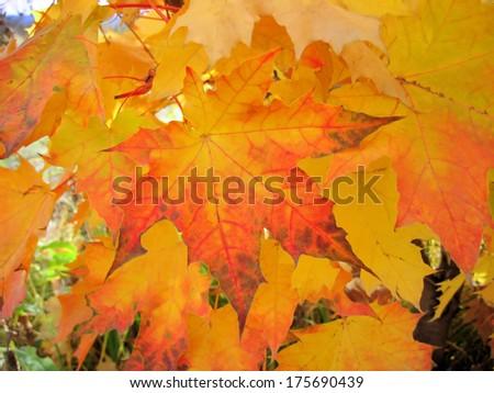 Beautiful autumn foliage of maple tree
