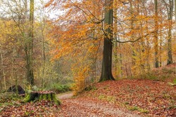 Beautiful autumn forest with footpath among Fagus sylvatica beech trees with deciduous autumnal foliage