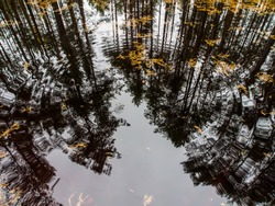 Beautiful autumn in the forest. Reflection of pines in an open bog and ripples in the water.