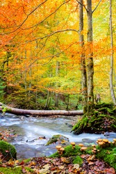 Beautiful Autumn in wild forest - vibrantl forest trees and fast river with stones with real honey agarics mushrooms on foreground. Amazing fall nature. Hight resolutions