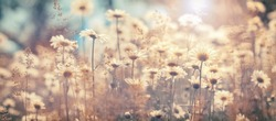 Beautiful autumn landscape of field daisies, banner. Warm sunny day. Floral delicate art image. Soft selective focus