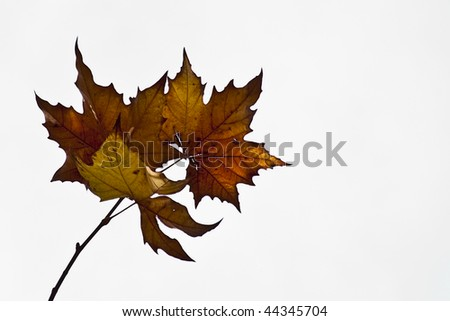 Beautiful autumn leaves with spectacular  colors on white background