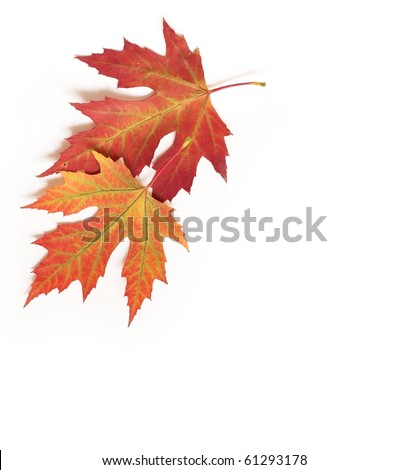 beautiful autumn maple leaf isolated on white background