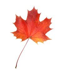 Beautiful autumn maple leave isolated on white background