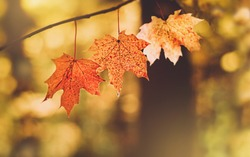 beautiful autumn maple leaves. autumn forest landscape. fall time season background. copy space
