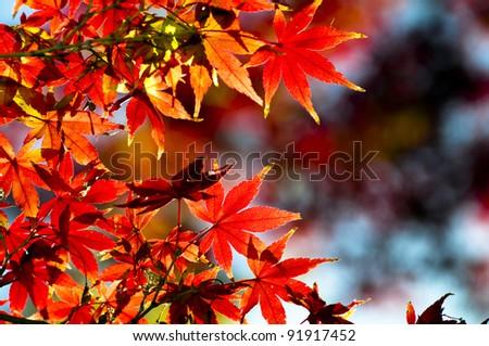 Beautiful autumn maple leaves background