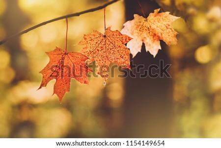 beautiful autumn maple leaves in sunlight. autumn forest natural landscape. autumn season background. copy space #1154149654
