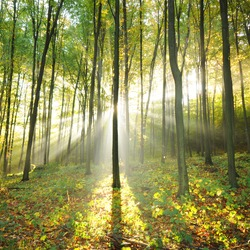 Beautiful autumn morning in old beech forest Poland