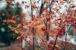 Beautiful autumn nature background with yellowed leaves of rowan tree and red berry on branches. Scenic fall natural backdrop with red rowanberry. Vivid red berries of rowan tree on bokeh background.