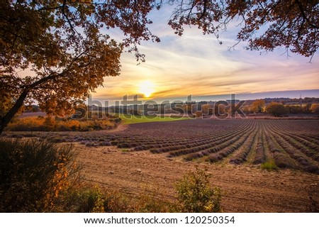 Beautiful autumnal lavender field