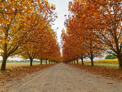 Beautiful avenue of trees in Autumn,  All Saints winery, Rutherglen,  Victoria, Australia.