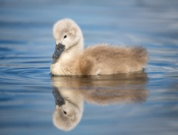 Beautiful baby cygnet mute swan chicks fluffy grey and white in blue lake water with reflection in river. Springtime new born wild swans birds in pond.