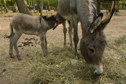 Beautiful baby donkey with his mother in a farm