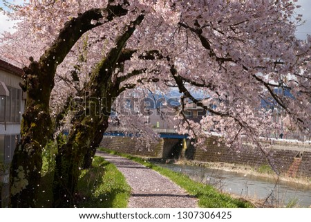 Free Photos Cherry Blossom And Sakura Flower Fall On The Road