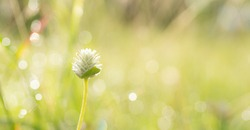 Beautiful background and wallpaper of white wild flower in garden with blur bokeh of dewdrop on grass in morning sunshine