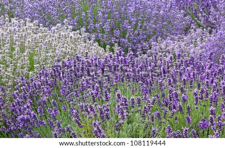 Beautiful background of a variety of colors of lavender flowers