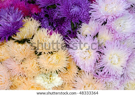 Beautiful background of chrysanthemums