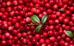 Beautiful Background of fresh Vaccinium vitis-idaea berries or cowberry, lingonberry. Lot of forest berries of cowberry close up. Top view, Flat lay. Bright food Wallpaper