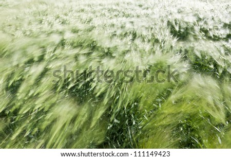 Beautiful background of motion blurred wheat field in the summer wind #111149423