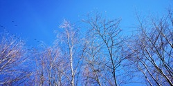Beautiful background of winter tree and group of birds flying  on clear blue sky in sunshine day at winter season.
