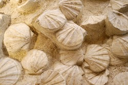 beautiful background of yellow golden brown petrified extinct fossil shell animal Pecten species (bivalve) large scallops or saltwater clams, Cretaceous Quaternary period era, marine mollusc