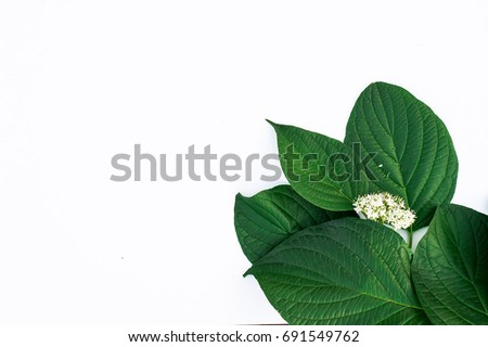 Beautiful background with leaves of Cornus alba #691549762