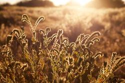 Beautiful backlit desert flowers. Antelope Valley, California.