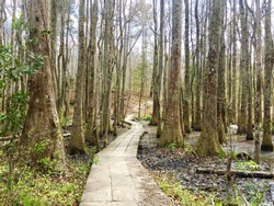 Beautiful Bald Cypress and Tupelo trees in a southern dismal swamp, Croatan National Forest, North Carolina