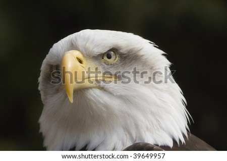 Beautiful Bald Eagle head in close up