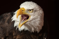 Beautiful bald eagle with beak open and tongue visible