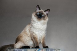 Beautiful balinese cat with blue eyes and long hair on a gray background