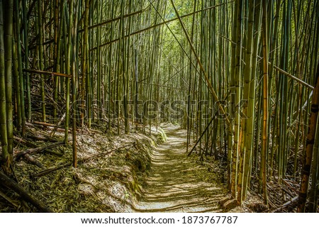 Beautiful Bamboo Forest On The Trail To The Divine Tree Zone (Giant Tree Forest) Of Smangus Tribe (Qalang Smangus, The Tribe of God), Jianshi, Hsinchu, Taiwan