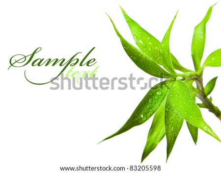 Beautiful bamboo leaves with drops on white background